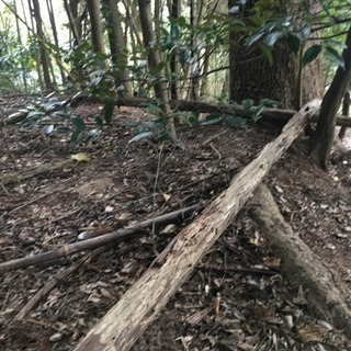 倒れ木  杉の木   燃料   薪に。