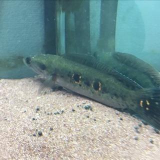 フラワートーマン  25cm 熱帯魚 オセレイトスネークヘッド
