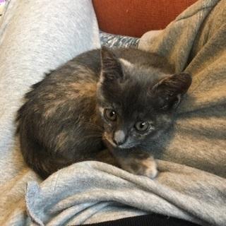 推定、生後2か月半の保護猫  女の子です。