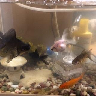 金魚 7センチ 5匹