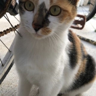 三毛猫ちゃん メス 半年