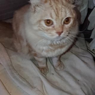 ミルキー色のチンチンラmix子猫!