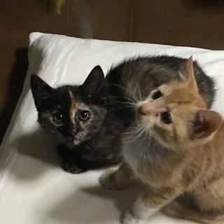 生後2ヶ月弱の姉妹子猫