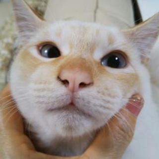 生後5ヶ月 白色 子猫
