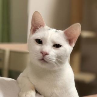 人が大好きな甘えん坊の白猫男子💕