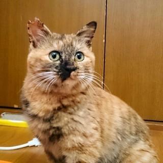 8か月メスの猫の里親さん募集です