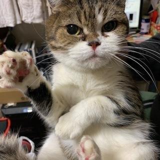 スコティッシュ成猫(♀)里親募集!