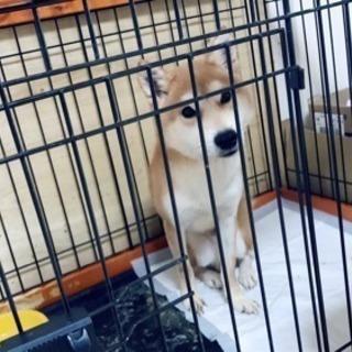 柴犬の新しい飼い主さんを探しています。