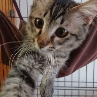 ねこ(5ヶ月程度・オス・よしひこ) - 猫