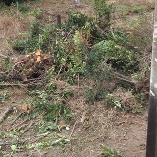 剪定した庭木無料で引き取っていただく方。根の所土洗浄しています。...