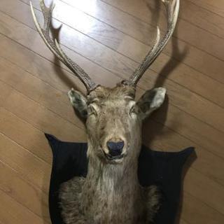 鹿の剥製 値下げしました!
