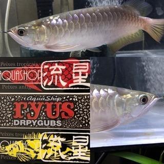 大型魚専門店  AQUA SHOP流星🐟
