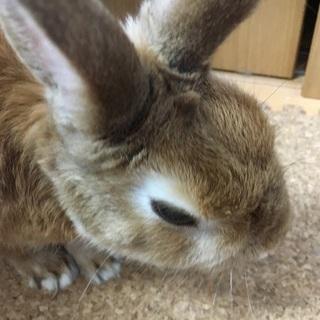 ウサギ ネザーランドドワーフ 4歳