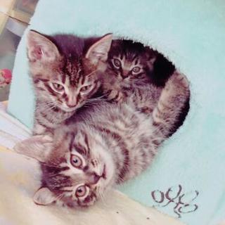 11月産まれ男の子3匹(1匹里親さん見つかりました。)