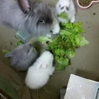 アメリカンファジーロップイヤーの親ウサギと赤ちゃんウサギの里親様募集
