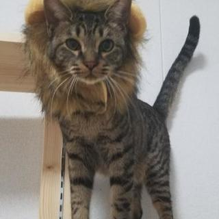 里親様募集・三兄妹(命・まこと♂)は保護猫カフェさくらへ移動しました。