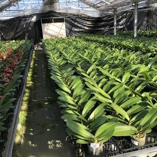 胡蝶蘭の栽培管理・加工業務