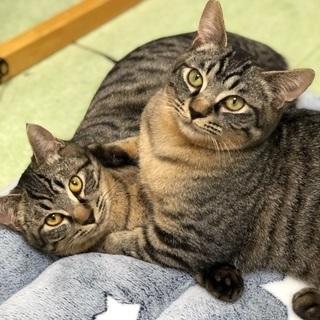 甘えん坊のキジ猫兄弟💕約5カ月位です