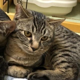 甘えん坊のキジ猫兄弟💕約5カ月位です − 福岡県