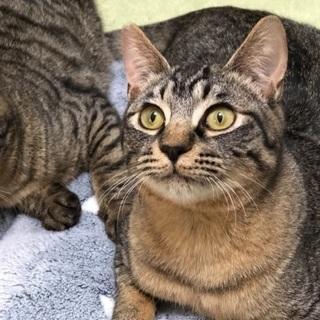甘えん坊のキジ猫兄弟💕約5カ月位です - 猫