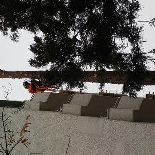 大きくなり過ぎた えぐね(屋敷林)危険木、伐採します。