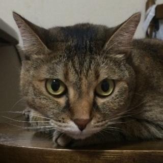 7歳のキジトラ猫♀ - 福岡市