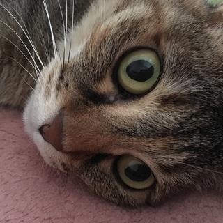 7歳のキジトラ猫♀ - 猫