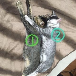 【里親様募集】福岡周辺 兄弟 猫 2匹 - 里親募集