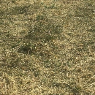 【神栖市筒井】篠竹チップあげます 土壌改良剤・肥料・防草シート代わ...