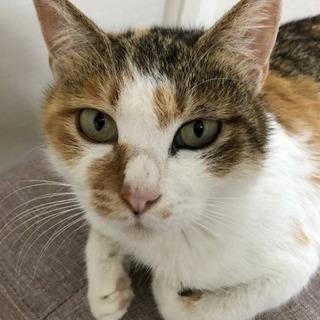 ミケ メス猫1歳半ほど