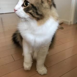 9ヶ月猫ちゃん里親募集させていただきます