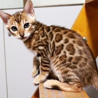 【ベンガル猫買取】ベンガル猫を買取ます!