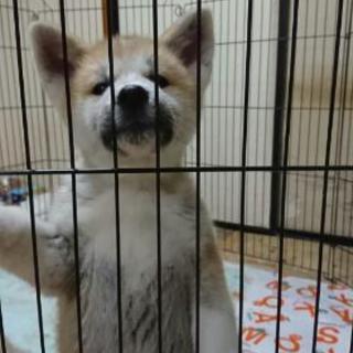秋田犬の仔犬2ヶ月の里親様を募集致します⁉