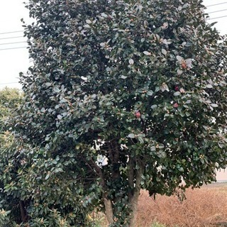 山茶花 椿 庭木