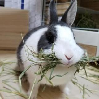 ミニウサギ メス