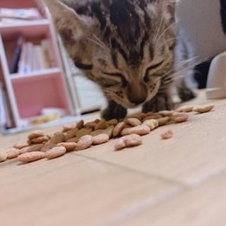 子猫の里親さん募集🌸 - 里親募集