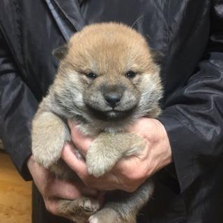 柴犬一人娘ムチムチちゃん!