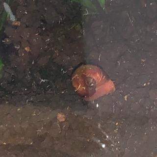 水槽のお掃除やさん レッドラムズホーン メダカ 金魚 熱帯魚 シ...