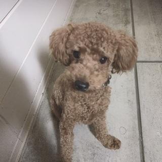 1歳トイプードルオス犬です!