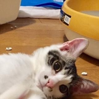 大きな目、きれいなしっぽ ゴロゴロキジ白7か月男の子