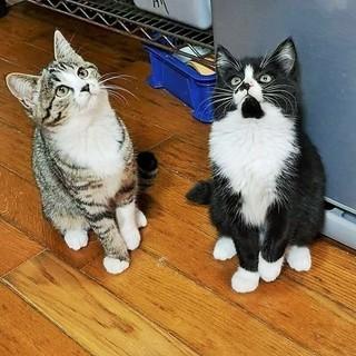 姉妹ペア コロコロ子猫 2か月