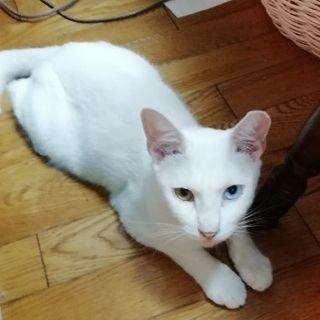 素敵な白猫 オッドアイのソラ君 2歳オス