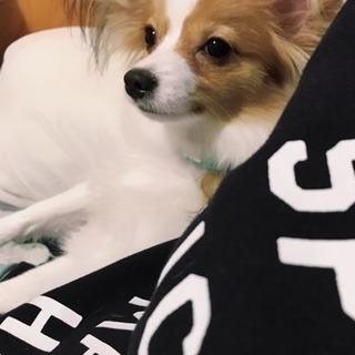 パピヨン 四月生まれのまだ子犬です。