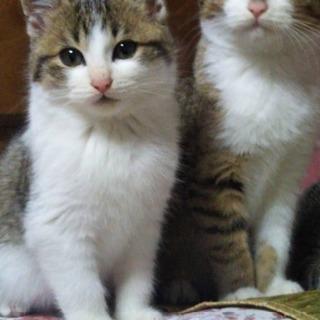 子猫 オス3カ月兄弟