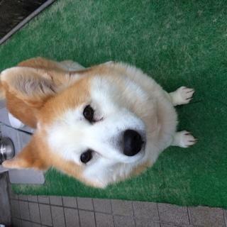 コーギーと柴犬のMIX犬です。13歳ですが飼って頂ける方おられま...