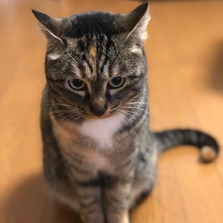 性格花まる!とっても飼いやすい若いメスの猫ちゃんです! − 福岡県
