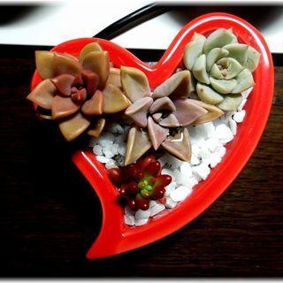 【多肉植物】多肉寄せ植え『ハート型陶器ポット入りアレンジメント』...