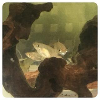 グッピー 3匹 稚魚 メスのみ 水草