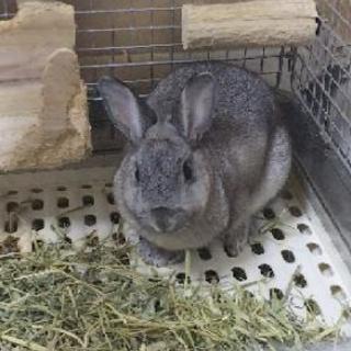 ミニウサギを引き取ってくれる方