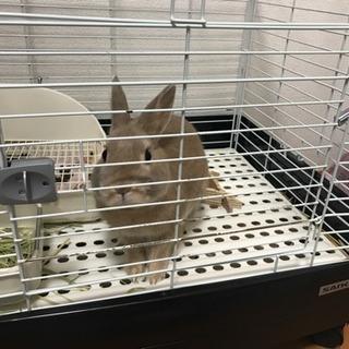 【里親募集】小さめのミニウサギ♂